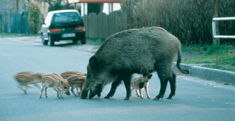 اكتشاف إصابة بطاعون الخنازير في بولندا على الحدود مع ألمانيا