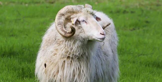 في ألمانيا مجهولون يسرقون خروفاً و الشرطة تحذرهم من أكل لحمه