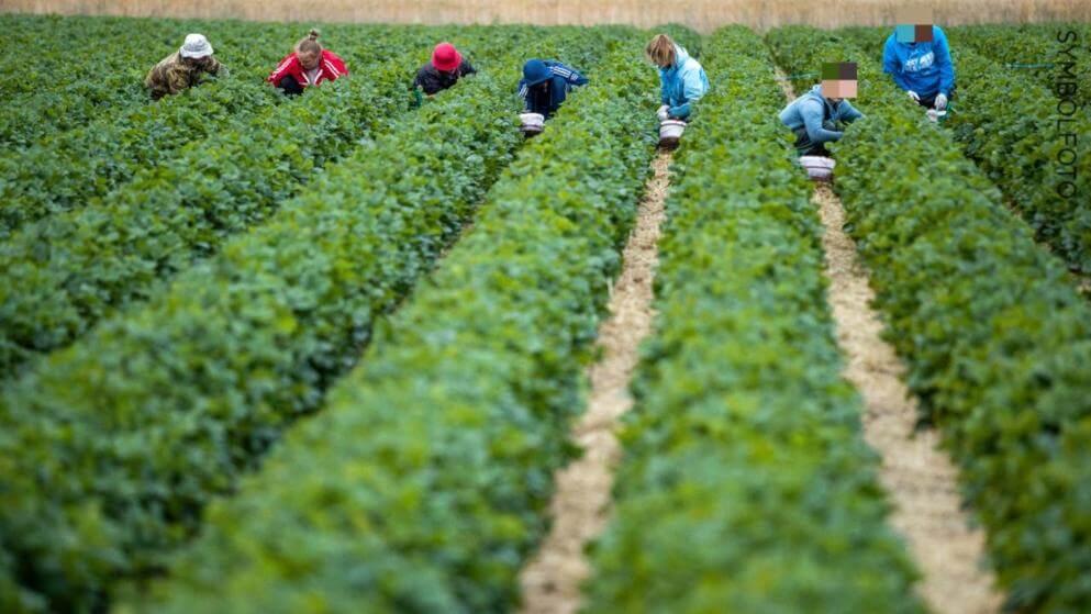 إصابة عمال الحصاد بفيروس كورونا في مدينة ألمانية