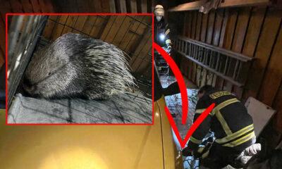 موقع ألماني يتحدث عن اكتشاف حيوان غريب ذو أشواك تحت سيارة